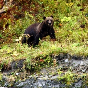 Fall Alaska brown bear