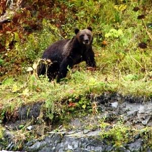 Fall Alaska brown bear