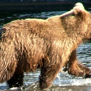 alaska brown bear fishing