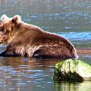 alaska brown bear viewing