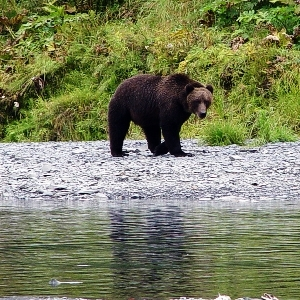alaska kodiak brown bear