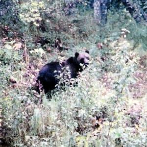 big kodiak brown bear