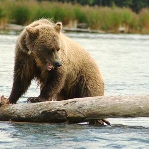 brown bear sockeye salmon fishing the kenai river