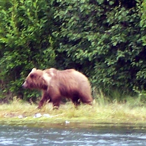 brown bear walking the kenai river