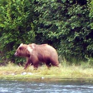 brown bear walking the kenai river
