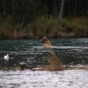 kenai peninsula brown bear fishing