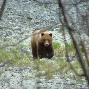 kenai peninsula brown bear spring