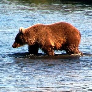kenai river bear