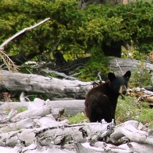 kenai river black bear cub