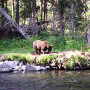 kenai river brown bear photo