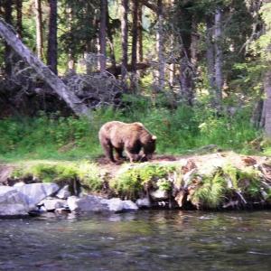 kenai river brown bear photo