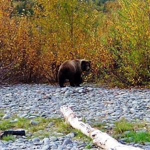 kenai river brown bear