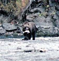 kodiak brown bear with a silver salmon