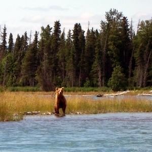 middle kenai river brown bear