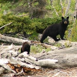 alaska black bear cub