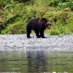 alaska kodiak brown bear