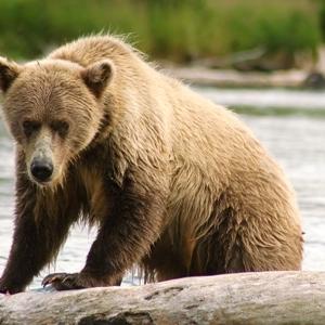 kenai peninsula brown bear