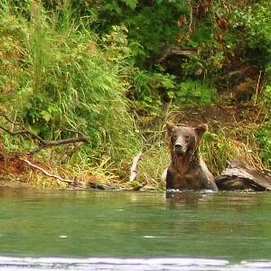 kenai river brown bear fishing