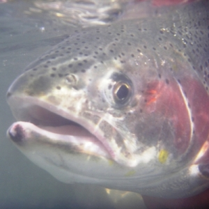 DRIFTING ON THE FLY, RAINBOW TROUT PHOTOS