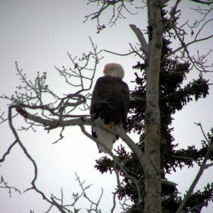 EAGLE WATCHING US M KENAI RIVER