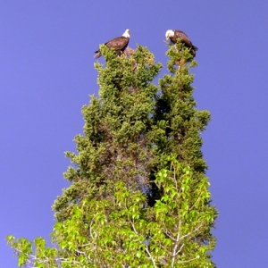 EAGLES, PAIRED IN A TREE