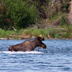 KENAI RIVER BULL MOOSE ALMOST THERE