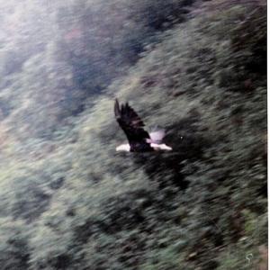 KODIAK, ZACKER BAY EAGLE FLYING
