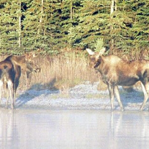 MOOSE, SKILAK LAKE