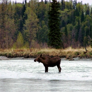 MOOSE STANDING IN THE KASILOF