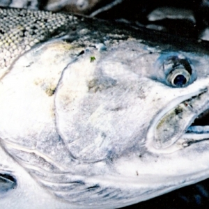 CLOSE UP OF SILVER SALMON