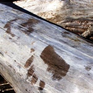 fresh bear tracks while kenai peninsula steelhead fishing